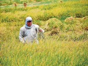 Productores de arroz afectados por el contrabando