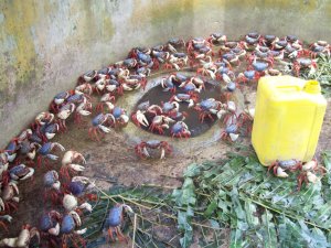 Inician cría de  cangrejo azul
