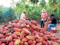 Incursionan en la siembra de cacao cnn51