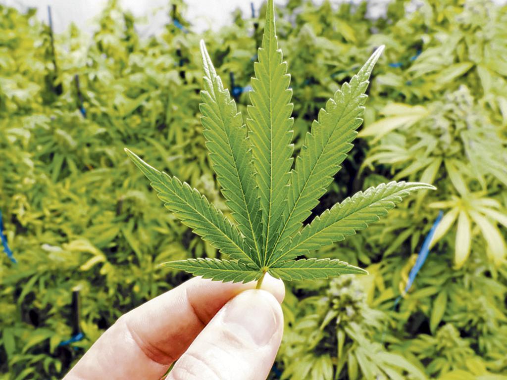 Resultado de imagen para uso legal del cannabis