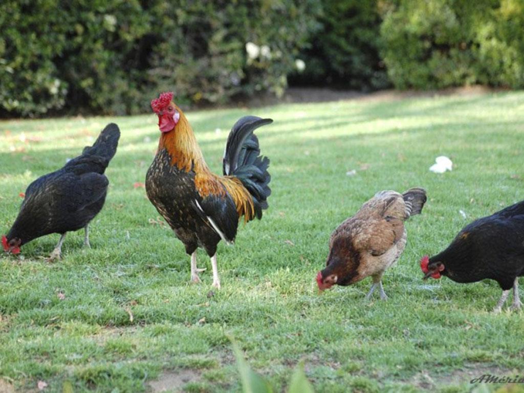 Se llevan 19 gallinas  y bombas de fumigar