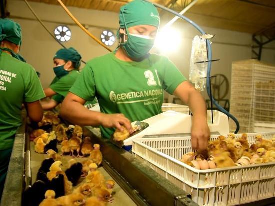 Producen 1,6 millones de pollos al mes