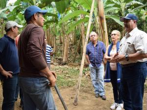 Buscan plátano para puerto rico