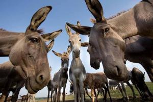 Una ciudad turca jubila a tres burros recogebasuras con música de Mozart