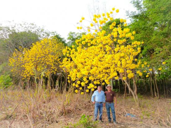 Florecen los guayacanes