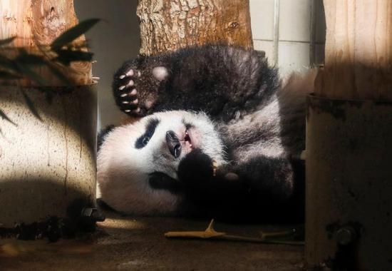 Un bebé panda es presentado en Tokio en medio de una gran expectativa