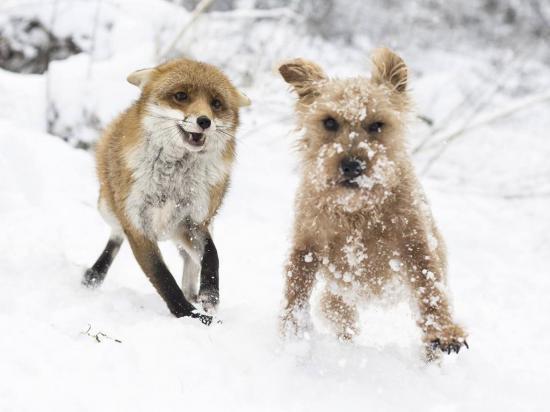 Un perro y una zorra huérfana se vuelven grandes amigos