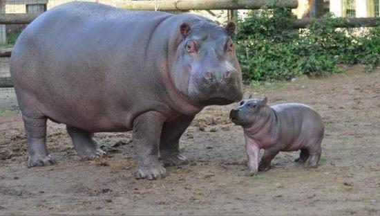 Nace el primer hipopótamo concebido en cautividad en Marruecos