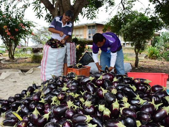 En El Negrital cosechan la berenjena que se va a mercados nacionales