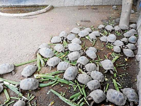 Eclosionan 3 mil huevos de tortugas en 23 años en un centro de crianza