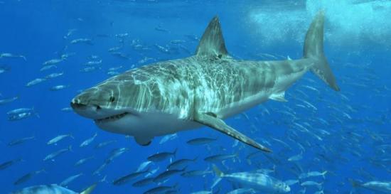 'Miss Costa', un enorme tiburón blanco con cuenta en Twitter 'visita' Florida