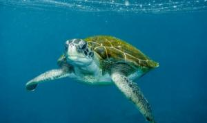 Un estudio revela que tortugas verdes en Australia han dejado de criar machos