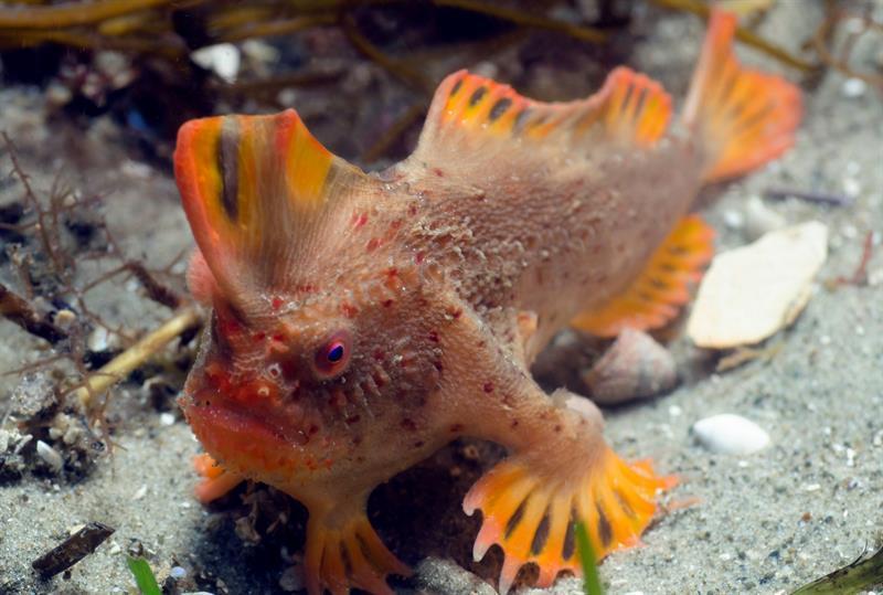 Descubren un grupo de peces 'caminantes' en Australia