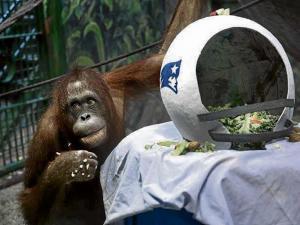 Orangután vaticina  el triunfo  de los Patriots