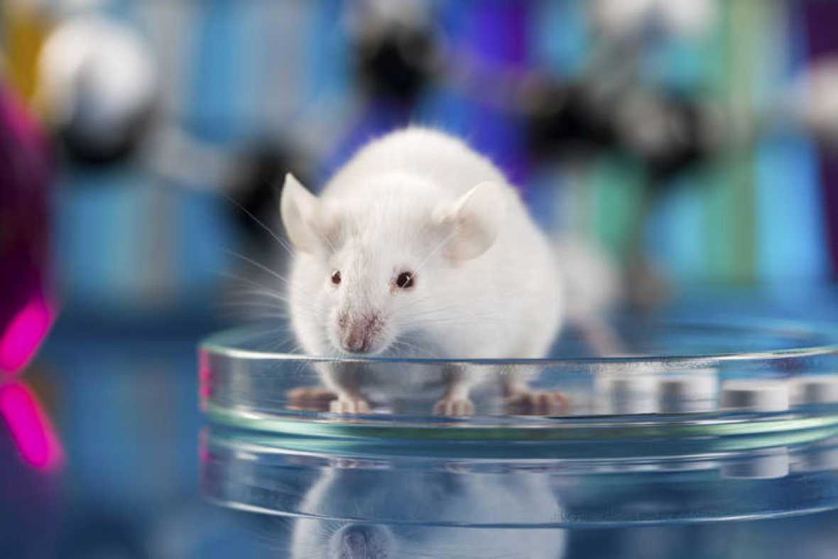 Identifican en ratones una nueva vía para mejorar la quimioterapia