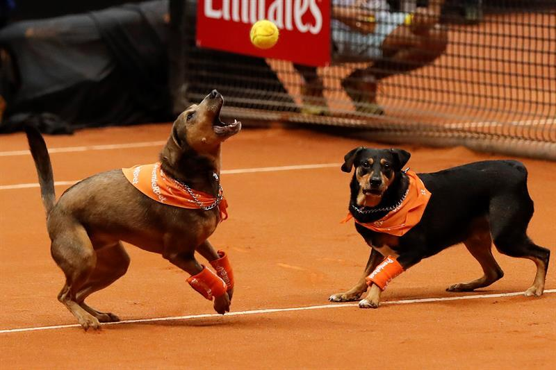 Perros abandonados recogepelotas buscan ser adoptados en el Abierto de Brasil