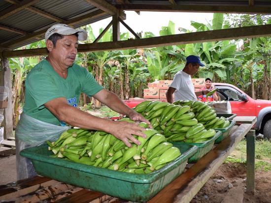 Paran la producción y exportación de plátano