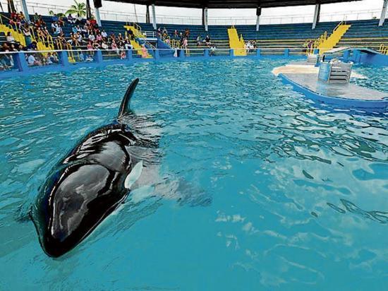 Exigen la liberación de la orca ''Lolita''