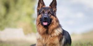 Aerolínea estadounidense envió a perro a Japón por error