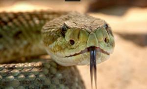 El veneno de la serpiente de cascabel mata bacterias