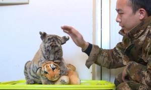 Un tigre cachorro tiene como  'familia' a un peluche