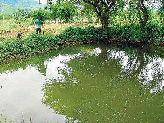 La cr a de tilapia toma fuerza en manab el diario ecuador for Cria de tilapia en estanques plasticos