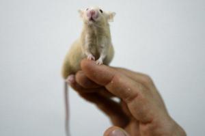 Nuevo fármaco capaz de frenar la diabetes tipo 1 en ratones