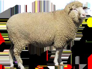 La lana de borrego es su fuente de economía