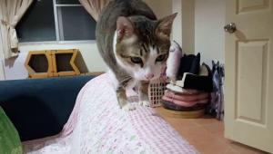 Una gata de dos patas ha cautivado en redes sociales