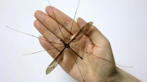 Descubren en China a un mosquito gigante con 11 centímetros de envergadura