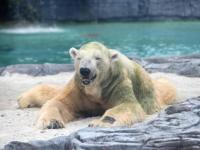 Fallece Inuka, el único oso polar nacido en el trópico
