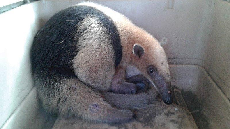 Rescatan a un oso hormiguero de un taller de carpintería en Esmeraldas