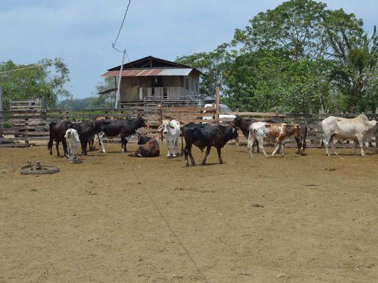 En 4 meses  se robaron 84  cabezas de ganado