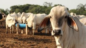 Diez presuntos delincuentes robaron cabezas de ganado en Rocafuerte