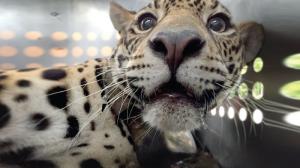 D´yaira vuelve sana a su hábitat natural tras recibir 18 perdigones disparados por cazadores
