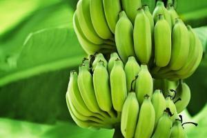 Cargamento de banano ecuatoriano llega a Brasil, tras 20 años de restricción
