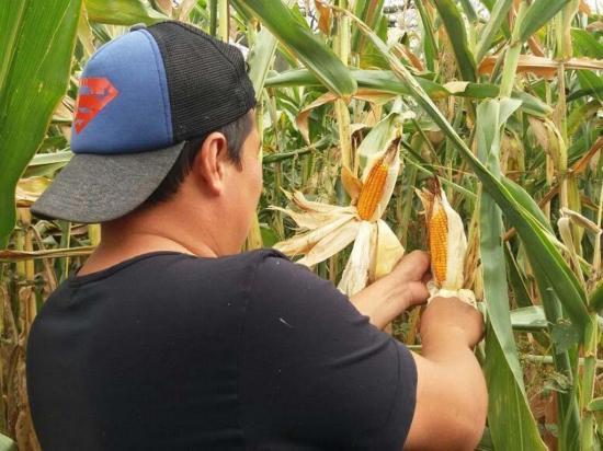 El sector agrícola espera mover $7,5 millones  en la venta de maíz