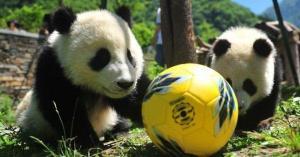 Los osos panda celebran su propio mundial en China
