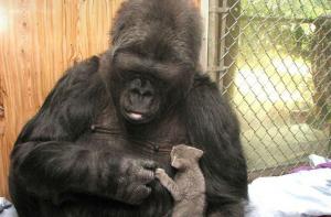 Muere Koko, la gorila capaz de ''hablar'' a través del lenguaje de signos