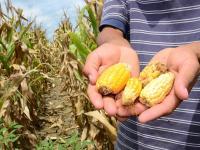 30 mil avisos de siniestro en cultivos de maíz