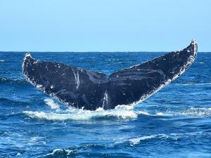Las ballenas jorobadas ponen emoción en el mar