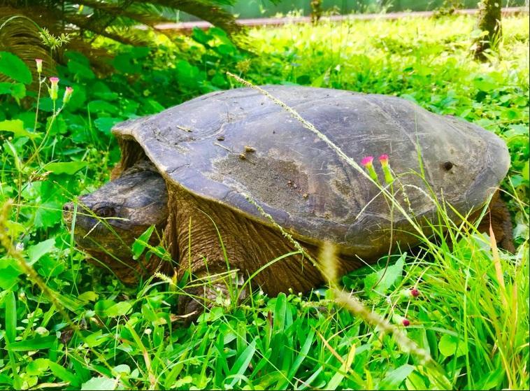 Tortuga es llevada al bosque La Perla