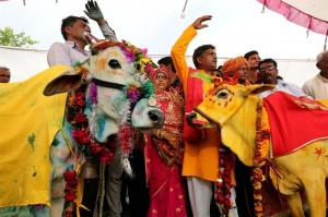 Una boda entre una vaca y un toro, el secreto contra la sequía en la India