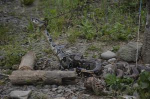 Curandero detenido con 108 serpientes amarradas como perros