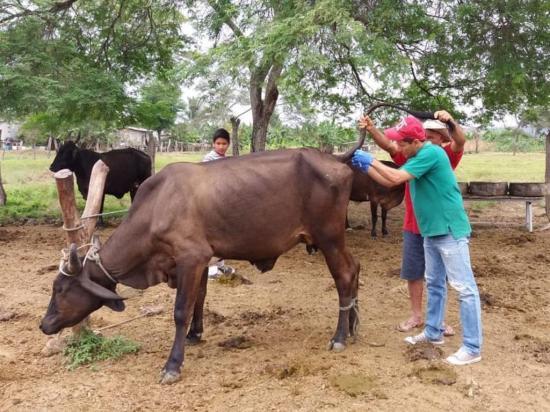 Parásito de la sangre mata al ganado