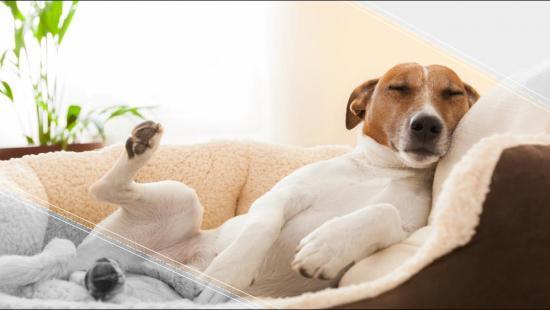 VÍDEO: Te has preguntado: ¿qué sueñan los perros?