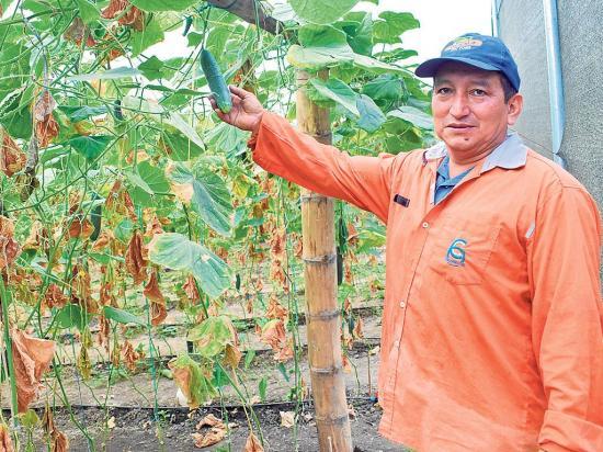 87 familias se  benefician del cultivo de pepino