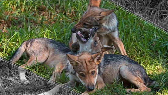 El lobo mexicano lucha por sobrevivir a la extinción