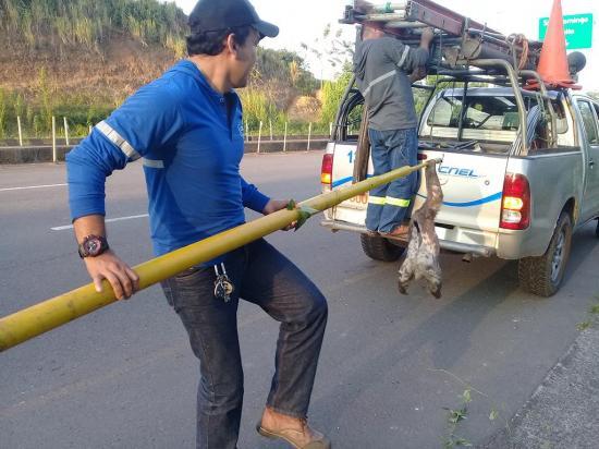 Un perezoso fue salvado por obreros de morir electrocutado