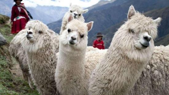 Ola de frío causa muerte de unas 5.000 alpacas en región peruana de Arequipa